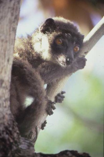 Lemur in Comoros