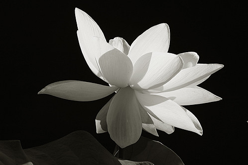White lotus flower on black a photo on flickriver white lotus flower on black mightylinksfo