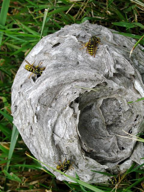 Yellow Jacket Nest   Flickr - Photo Sharing!
