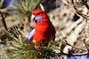 Crimson Rosella pine Platycercus elegans Australia Bird