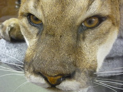 cougar, nose, animal, small to medium-sized cats, snout, mammal, fauna, close-up, puma, whiskers, wildlife,