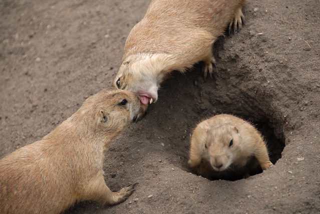 Prairie Dog Bite