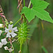 wild balsam apple - Photo (c) Jerry Oldenettel, some rights reserved (CC BY-NC-SA)