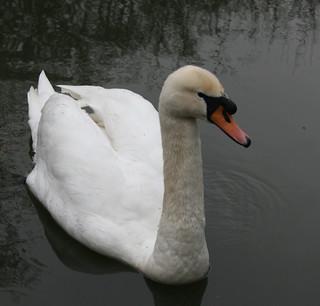 Ravensbury Park wildlife: mute swan