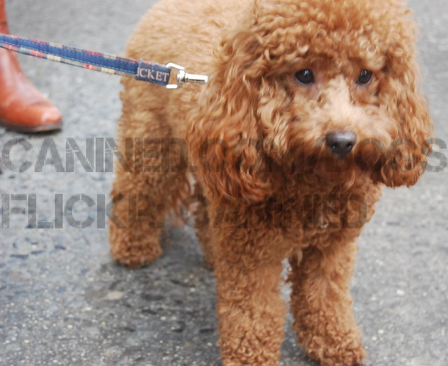 ... toy & red miniature poodle dog picture 91 | Flickr - Photo Sharing