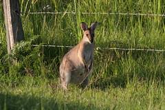 prairie(0.0), white-tailed deer(0.0), wallaby(1.0), animal(1.0), grass(1.0), marsupial(1.0), mammal(1.0), kangaroo(1.0), fauna(1.0), meadow(1.0), wildlife(1.0),
