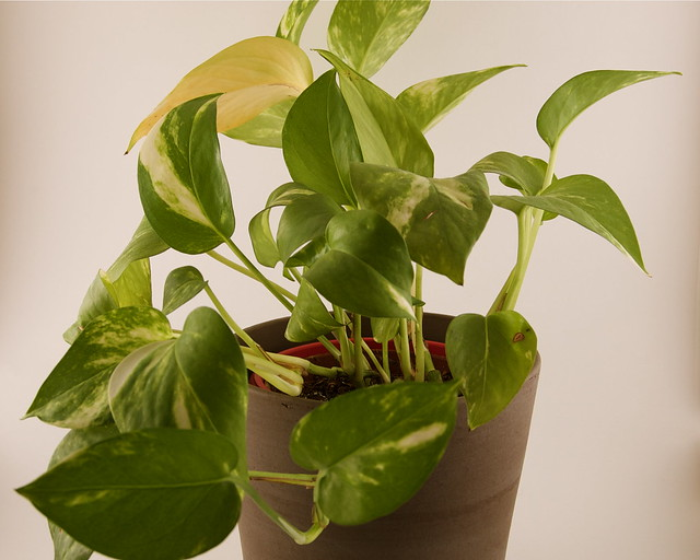 Golden Pothos Flickr Photo Sharing
