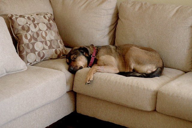 dog lying on couch