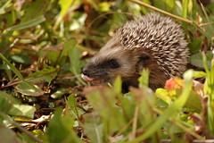 echidna, animal, domesticated hedgehog, erinaceidae, fauna, wildlife,