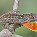 Brown Anole - Photo (c) Jerry Oldenettel, some rights reserved (CC BY-NC-SA)
