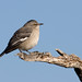 Mockingbird on a limb
