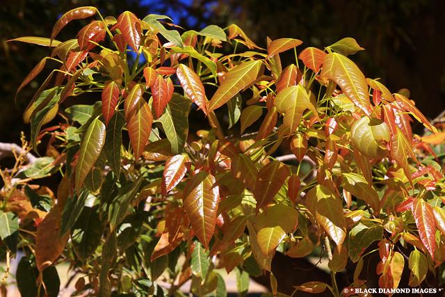 Newgrowth Brachychiton X roseus - Wentworth Flame Tree (Acerifolius x populeneus)