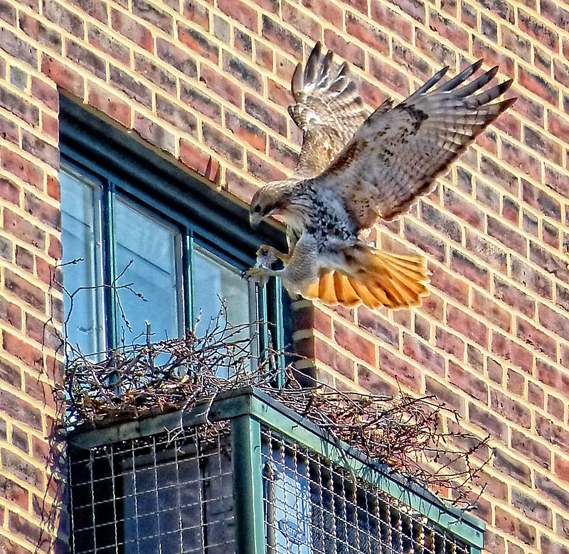Adult red tail landing at the Christodora nest site
