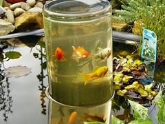 Biodive goldfische im teich for Goldfische im miniteich