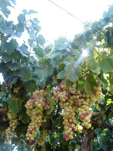 poda de parras uva de mesa warianoz
