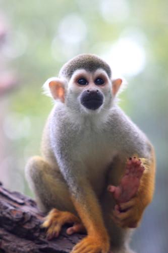 monkey primate squirrelmonkey naturesfinest supershot impressedbeauty theperfectphotographer goldstaraward itsazoooutthere