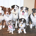 The Current Australian Shepherd Gang, July 2008