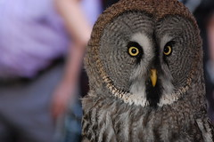 falcon(0.0), animal(1.0), bird of prey(1.0), owl(1.0), fauna(1.0), close-up(1.0), beak(1.0), great grey owl(1.0), bird(1.0), wildlife(1.0),