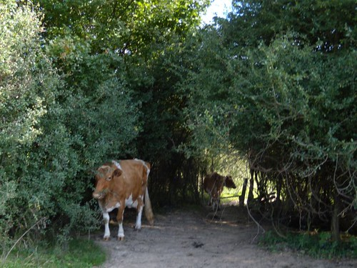 Lurking cows