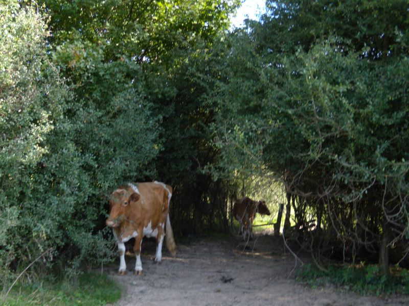 Lurking cows Cows are notorious ambush herbivores. Crowhurst to Battle