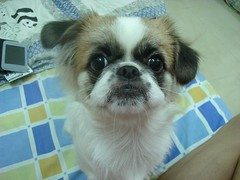 dog breed, animal, dog, pet, mammal, japanese chin, tibetan spaniel, chinese imperial dog, pekingese, shih tzu,