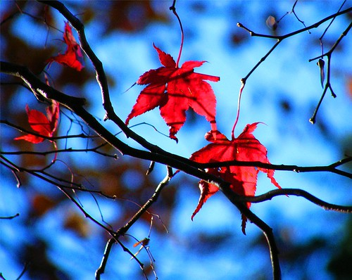 Red-White-Blue Autumn