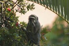 Chlorocebus aethiops - Vervet monkey 42