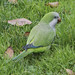 Monk Parakeet - Photo (c) Jordi Roy Gabarra, some rights reserved (CC BY-NC)