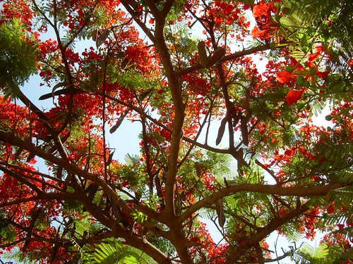 Red Tree Flamboyan/Delonix Regia in Egypt