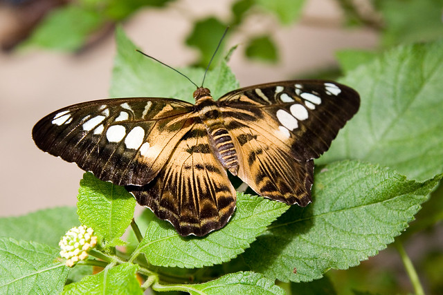 Brown Clipper butterfly.