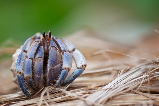 Coenobita purpureus in need of a bigger shell