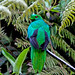 Crested Quetzal (Mike and Karen Galtry)