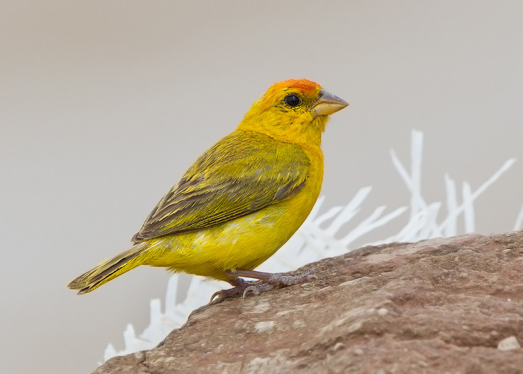 Orange Fronted Yellow-Finch 2014-01-25