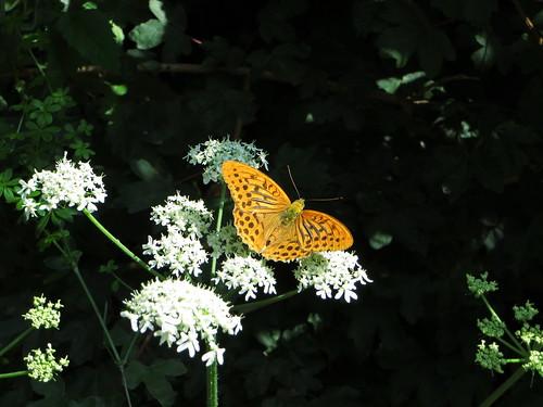 20130814 06 142 Jakobus Blüte weiß Blume Schmetterling gelb orange