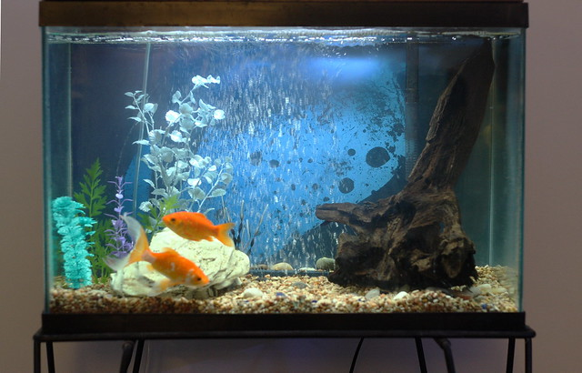 My 20 gallon goldfish tank flickr photo sharing for Fish tank for goldfish