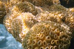 flower(0.0), invertebrate(0.0), pomacentridae(0.0), coral reef(1.0), animal(1.0), coral(1.0), yellow(1.0), brain coral(1.0), organism(1.0), marine biology(1.0), macro photography(1.0), cnidaria(1.0), underwater(1.0), reef(1.0), sea anemone(1.0),