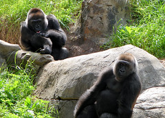 chimpanzee(0.0), recreation(0.0), outdoor recreation(0.0), animal(1.0), western gorilla(1.0), mammal(1.0), great ape(1.0), gorilla(1.0), fauna(1.0), common chimpanzee(1.0), ape(1.0), wildlife(1.0),