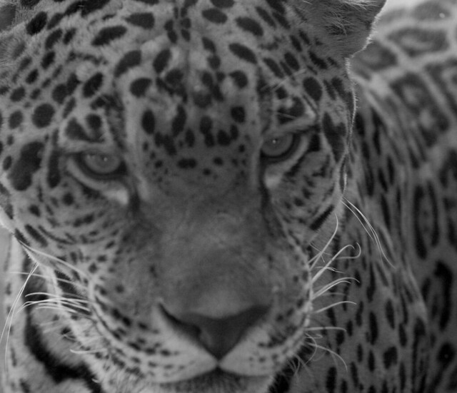 Jaguar black and white | Flickr - Photo Sharing!