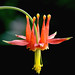 Western Columbine - Photo (c) James Gaither, some rights reserved (CC BY-NC-ND)