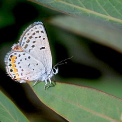 Acmon Blue butterfly