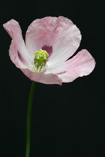 Opium poppy flower  Pa...