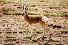 Tibetan gazelle, male