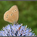 Ringlet - Photo (c) Didier, some rights reserved (CC BY-SA)