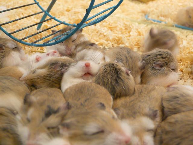 Cute hamsters sleeping
