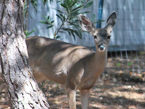 standing_deer