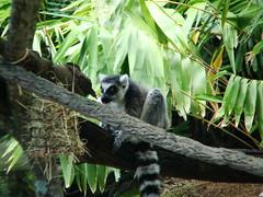 animal, tropics, rainforest, branch, primate, fauna, forest, lemur, jungle, wildlife,