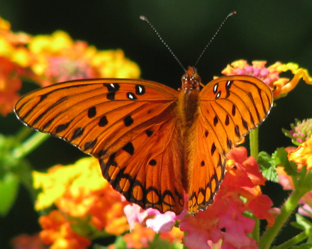 12 Days of Christmas Butterflies - #1Gulf Fritillary
