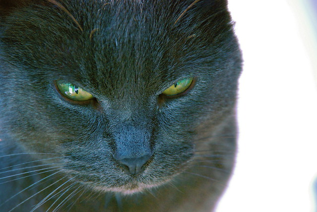 Russian Blue/ Chartreux Mix   Flickr - Photo Sharing!