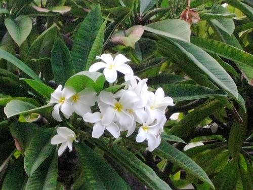 Plumeria closeup