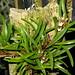 Small photo of Maxillaria uncata